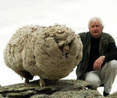 Shrek! The New Zealand sheep who lived in caves for 6 years, and looked like this when he was discovered in 07/13! This experienced farmer gave him a nice gentle shear, and he is probably much more comfortable!