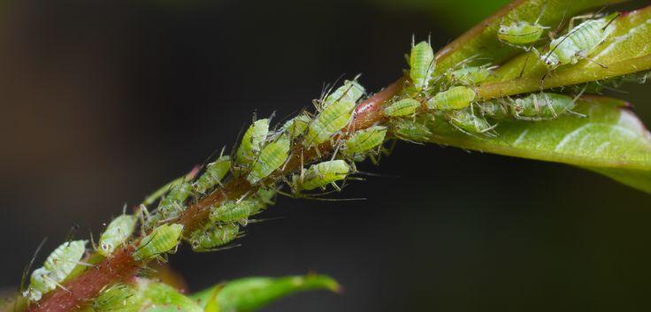 Blattläuse bekämpfen: Hausmittel gegen die Schädlinge