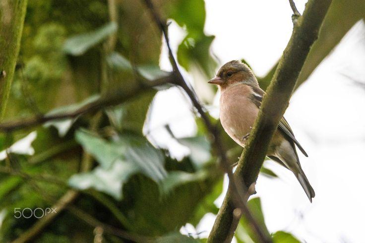 male chaffinch - a male chaffinch sitting like a macho