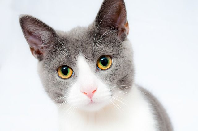 A purr-fect shot! A Pixabay Editor's Choice photo by 1899441 (https://pixabay.com/en/users/1899441-1899441/) : Keywords - cat, pet, animal, domestic, fur, portrait, cute, feline : License - CC0 Public Domain | Free for commercial use | No attribution required (https://pixabay.com/en/service/terms/#usage)
