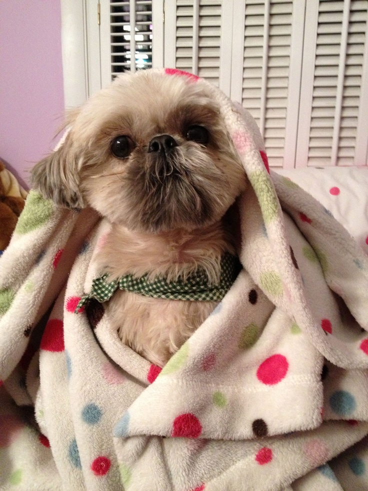 Most Inspiring Shih Tzu Anime Adorable Dog - b19d1b5fd470dc89f243c43088cf773c--eye-lacie  Image_85463  .jpg