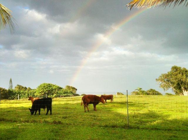 cows and Maui rainbow in Haiku Maui HI 96708