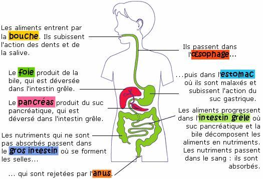 Le système digestif, Soutien scolaire, Cours Sciences, Maxicours