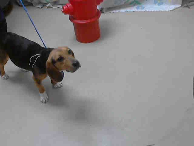 #TEXAS ~ ID A399043 is a tricolor Beagle at the shelter since 2-11-14 & in need of a loving #adopter / #rescue at HARRIS COUNTY PUBLIC HEALTH & ENVIRONMENTAL SERVICES 612 Canino Rd #Houston TX 77076 Ph 281-999-3191