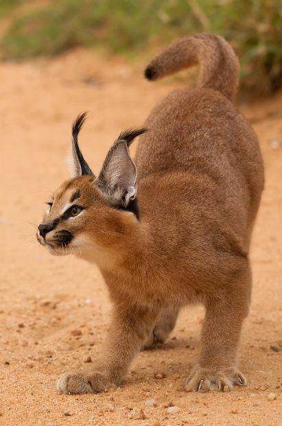 Caracal / Desert Lynx.                                                                                                                                                      More