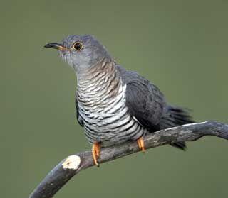 Es de color gris o marrón. Cola larga, alas puntiagudas. Durante el vuelo se parece a un halcón, pero mantiene las alas por debajo de la lín...