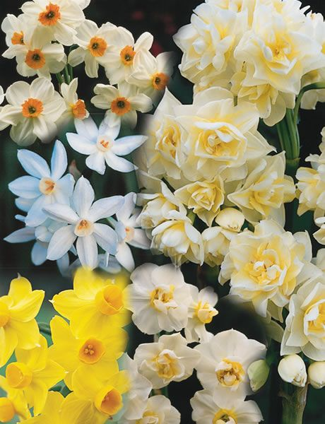 Daffodils Or Narcissus If You Prefer Are Easy They Like Plenty Of Sun And A Well Drained Soil Daffodils Daffodil Flower Daffodil Bulbs