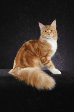 Maine Coon, Red Tabby Blotched & White (d 09 22). DOTCOM RL CEASER OF SRCOONS