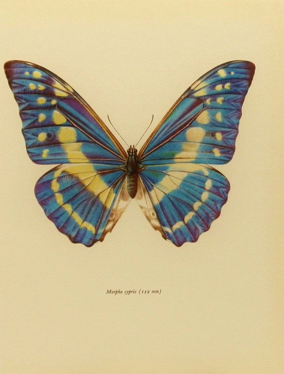 Steely Blue Morpho, Midcentury Modern Art, Vintage Butterfly Print (1960s Book Plate No. 38-1)