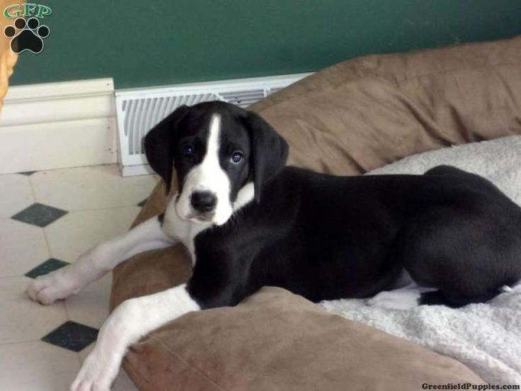 Mantle Dane puppy .my dan is a mantle hes 2 now. looks ...