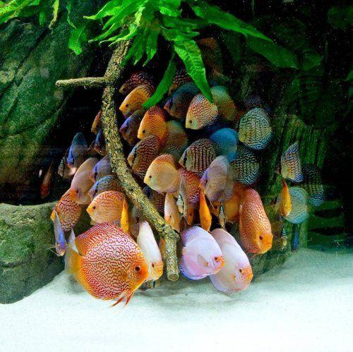 Diskuszucht stendker gmbh co kg diskusfische for Diskus aquarium