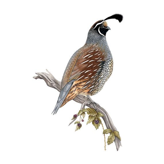 California Quail Print 8x10 on Etsy, $25.00