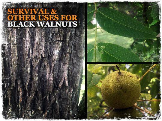 Survival Uses Black Walnuts
