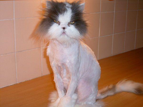 """Shaved Cat! """"I shall kill you"""""""