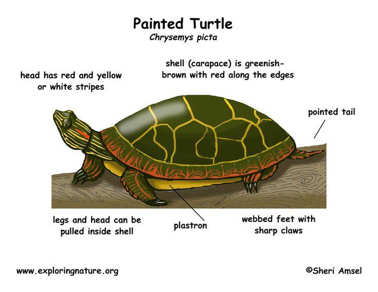 http://www.exploringnature.org/graphics/reptiles ...