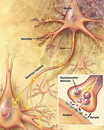 How neurons transmit information.  Signals move down the axon of one neuron to the cell body and dendrites of the next.