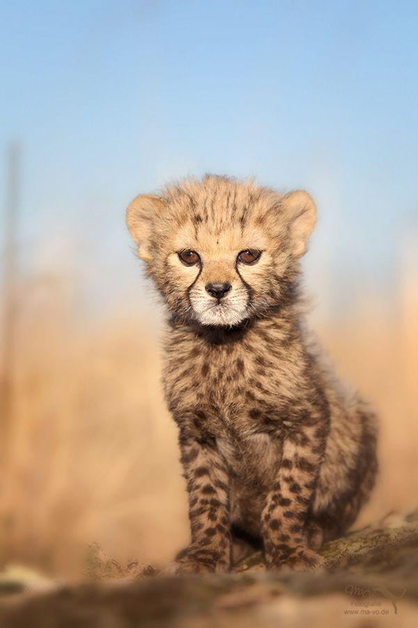 ~~Cheetah Cub by Marion Vollborn~~