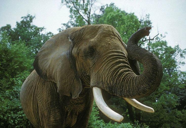 Слон, Африканской Саванне, Животных, Млекопитающее