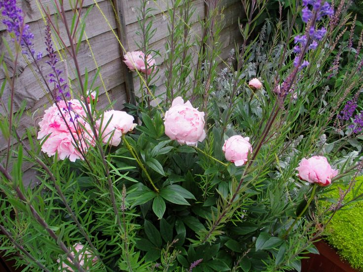 Pale Pink Peony - as usual got battered by the rain