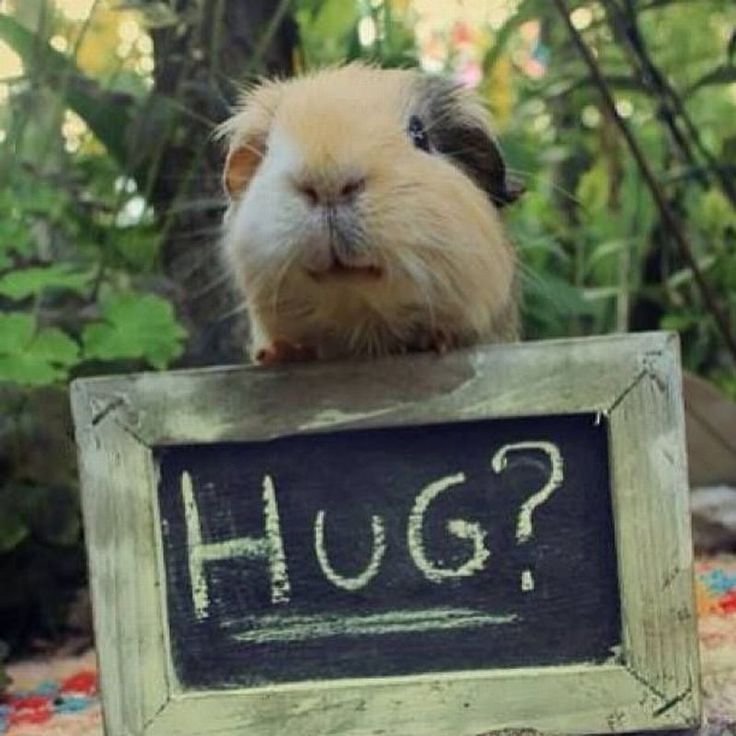 45 best guinea pig outfit 39 s images on pinterest guinea for Free guinea pig stuff