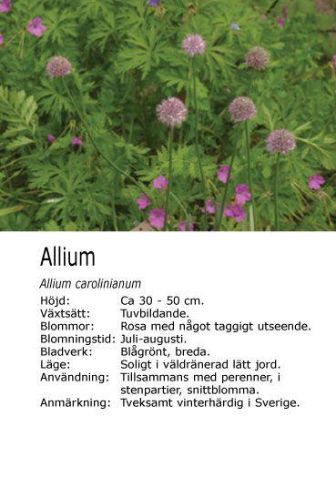 Allium planterad i min vårrabatt.