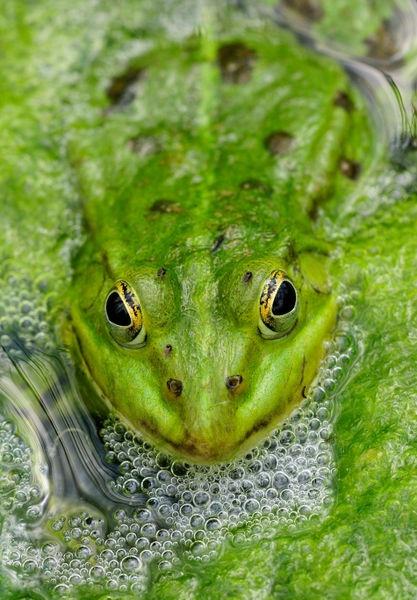114 besten froggies bilder auf pinterest fr sche schlangen und amphibien. Black Bedroom Furniture Sets. Home Design Ideas