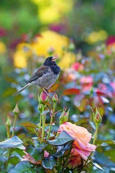 Songbird on roses