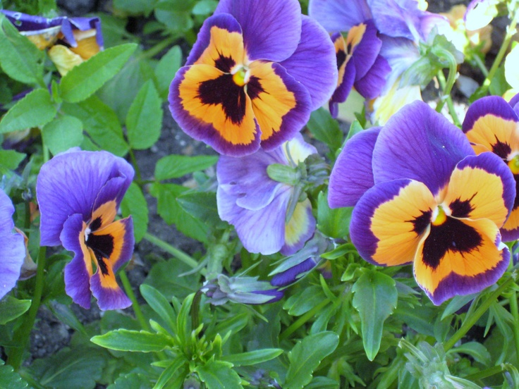how to grow pansies in winter