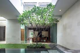 frangipani tree in pot.