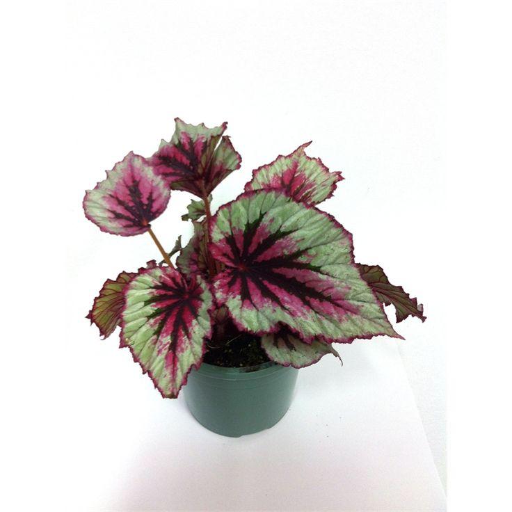 130mm Begonia Rex @ Bunnings