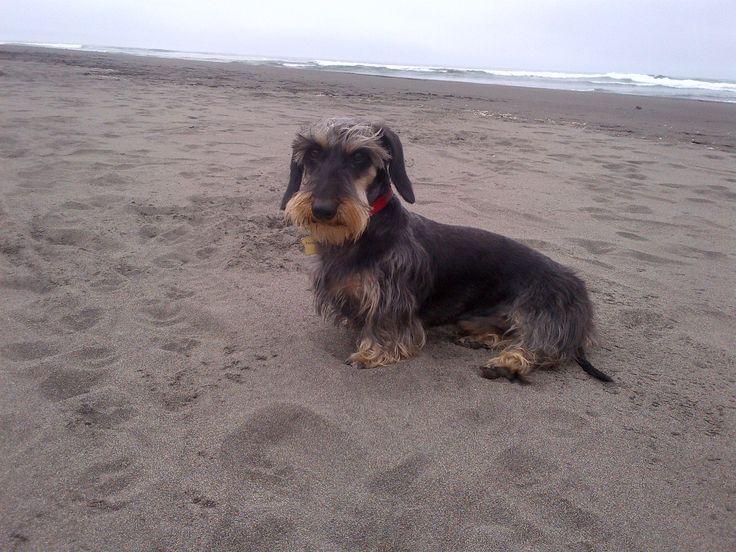 teckel, dackel o perro salchicha de pelo duro / wirehair dachshund   http://es.wikipedia.org/wiki/Dachshund  http://en.wikipedia.org/wiki/Dachshund