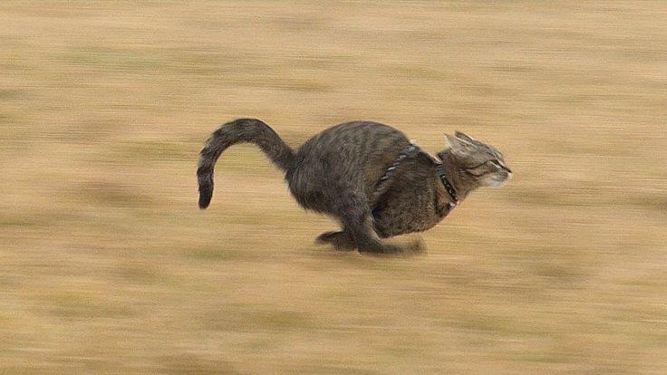 Indoor cats can reach a higher top speed than Usain Bolt! https://www.youtube.com/watch?v=cm74P-llas4