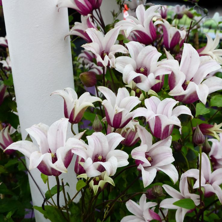 Tulpen-Clematis Princess Kate