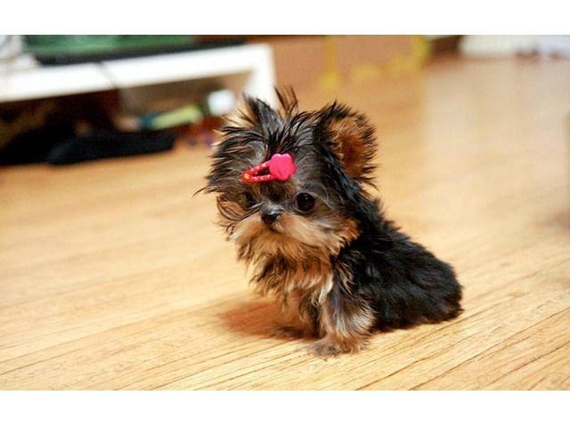 Pin By Debi Nez On Yorkshire Terrier Yorkie Puppy Teacup Yorkie Puppy Teacup Yorkie