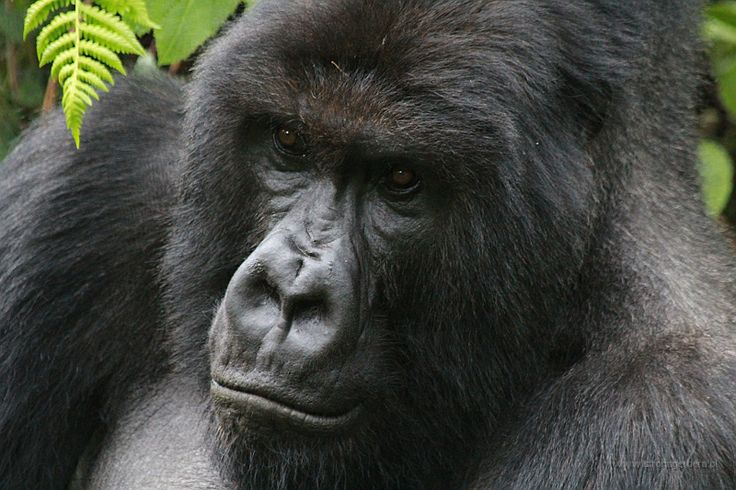 Rwanda - Goryle górskie w Volcanoes National Park || http://www.szczytyafryki.pl || #Rwanda #Goryle