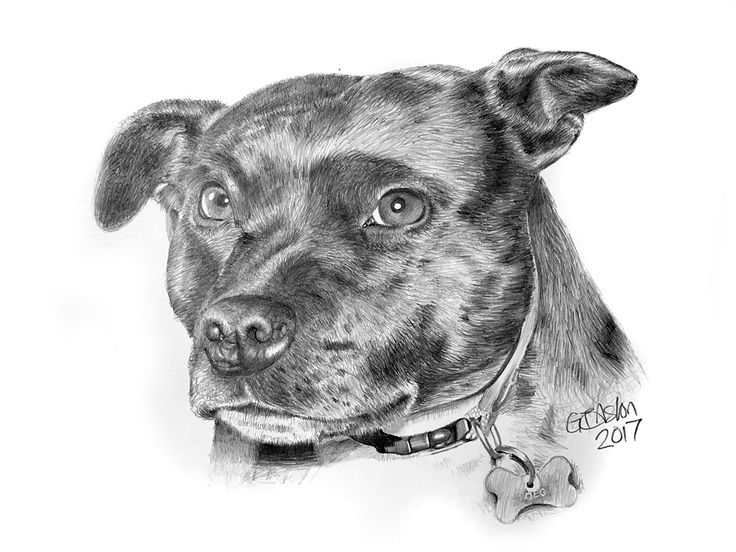 One of my latest drawings of a Staffordshire Bull Terrier for you to enjoy