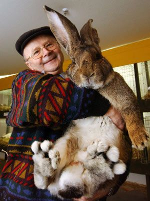 Herman, the Flemish Giant Rabbit! Wow, this is one big bunny!