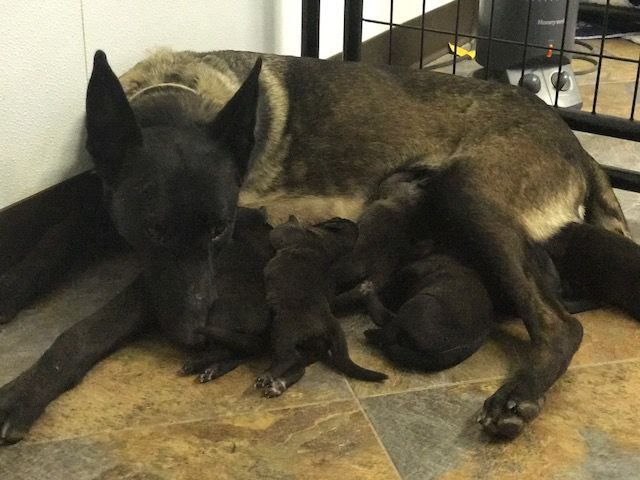 Litter of 6 Belgian Malinois puppies for sale in ARKANSAS CITY, KS. ADN-53598 on PuppyFinder.com Gender: Male(s) and Female(s). Age: 1 Week Old