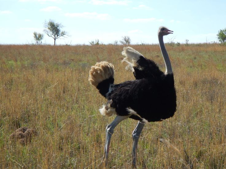 south africa animal ostrich