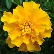 How to Plant & Care for Marigolds   eHow