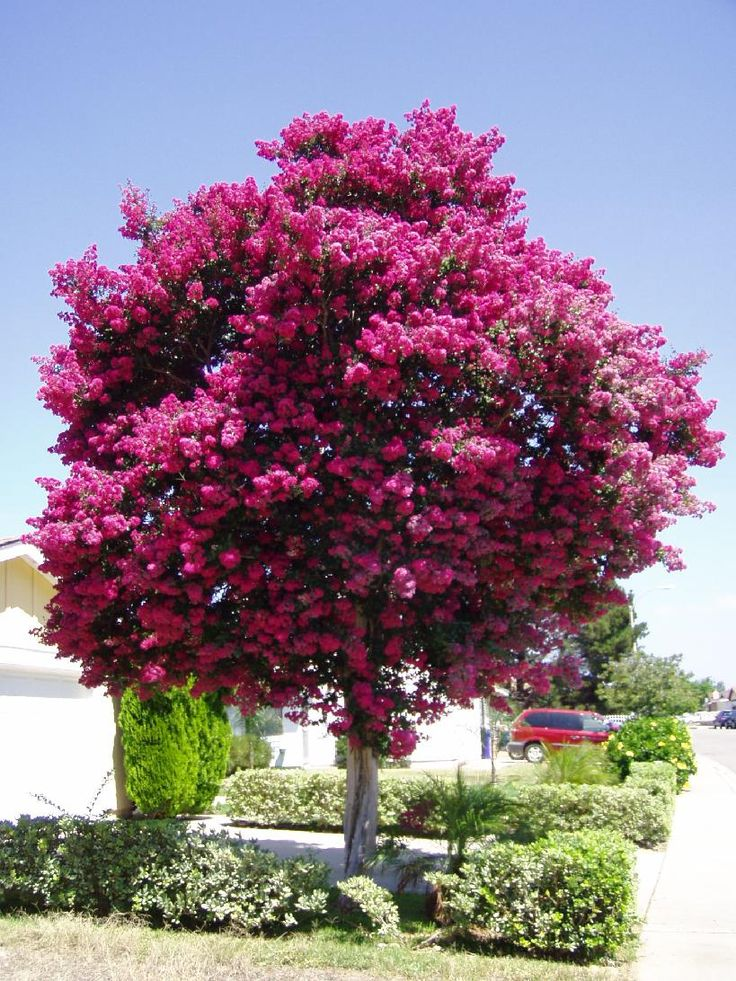 Crepe Mytrle tree (These trees are all over the eastern shore of Virginia where I am on vacation, they are pink, white, purple or fuscia)