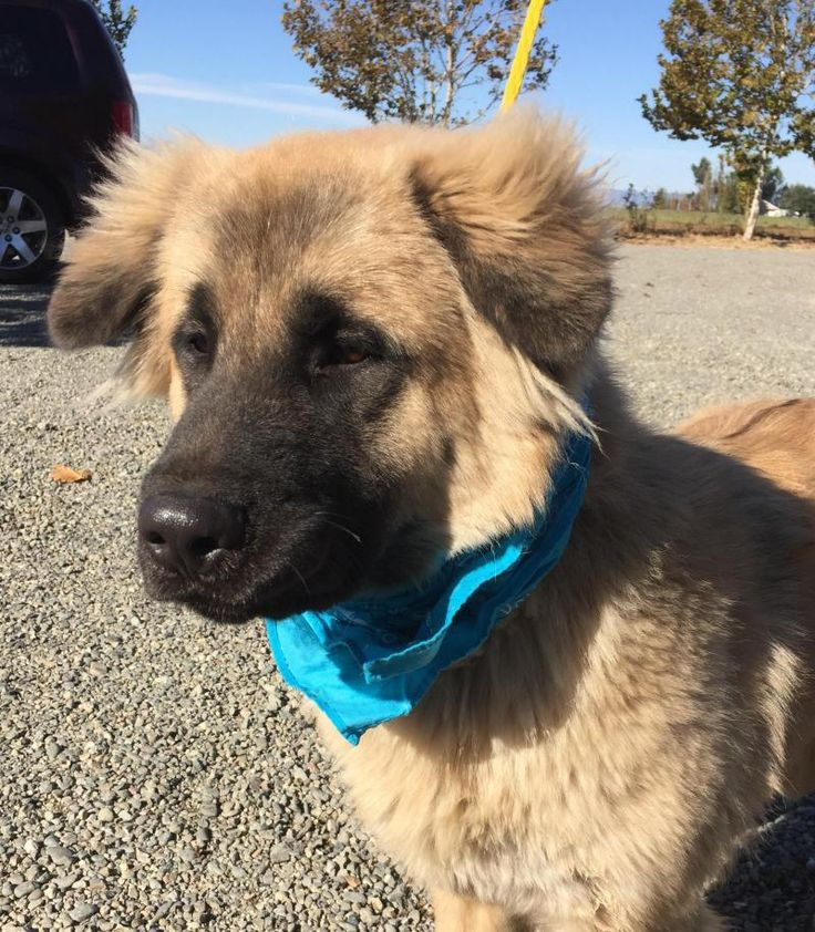 My name is Boomer and I'm an 8 - 10 month neutered male Leonberger mix. I'm just a big pup! I'm full of energy, bouncy and fun loving as all puppies are. I just need a little obedience training and I'll be perfect! Oh! I come with free obedience...