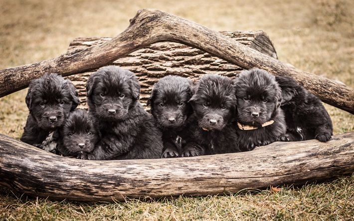 Download wallpapers 4k, Newfoundland, puppies, dogs, funny animals, cute dog, pets
