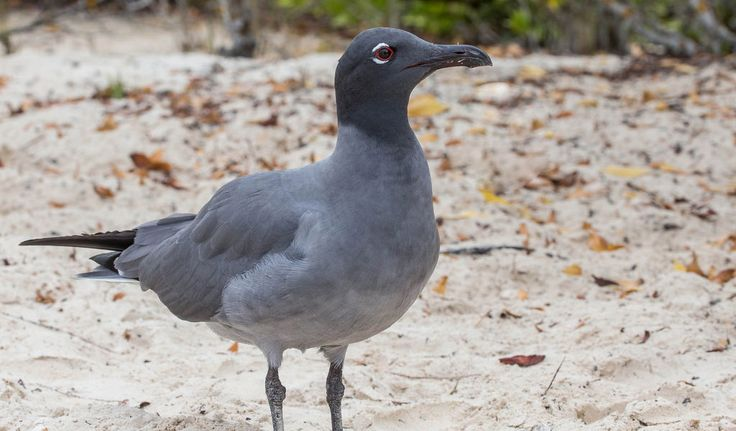 Galapagos Lava Gull Bird - Facts, Information & Habitat