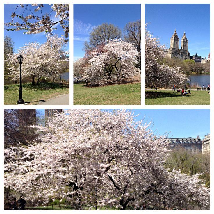 Central park, cerejeiras em flor!