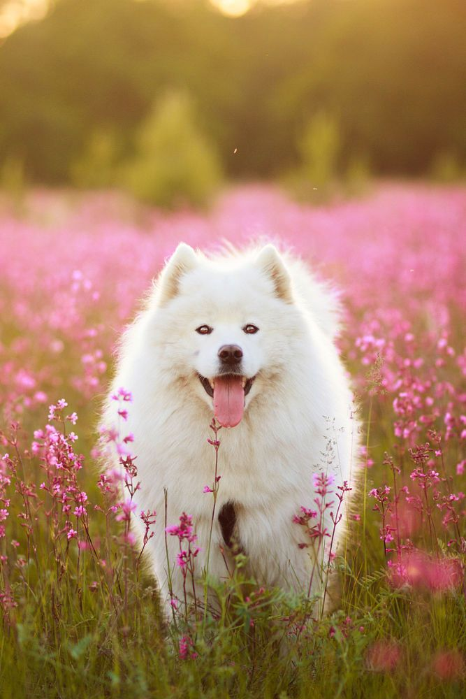 Dogs On Pinterest Samoyed Puppies And For