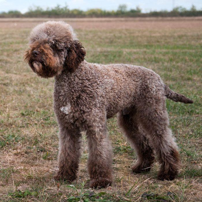 Lagotto Truffle Dogs: 20 Of The World's Rarest Dog Breeds