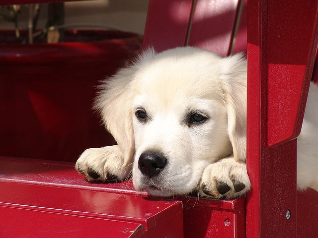 """8-ish more years of the military and I want this pup.... """"white"""" golden retreiver!  There is one up the street, she is beautiful!!!!!"""
