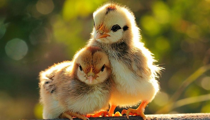 pio pio: Baby Chick, Chicken, Animal Pictures, Friends, Baby Ducks, Little Birds, Pet, Wallpapers, Feathers