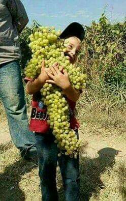 Grapes are ripe,so great joy! 😄 😄